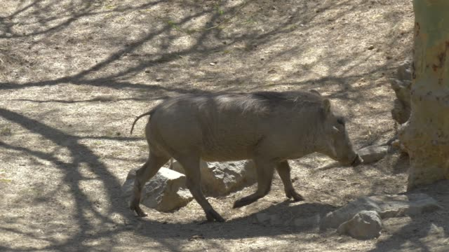 African warthog family in the wildlife