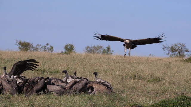 African White Backed Vulture, gyps africanus, Ruppell's Vulture, gyps rueppelli, Group eating on Carcass, Masai Mara Park in Kenya, slow motion African White Backed Vulture, gyps africanus, Ruppell's Vulture, gyps rueppelli, Group eating on Carcass, Masai Mara Park in Kenya, slow motion bird of prey stock videos & royalty-free footage