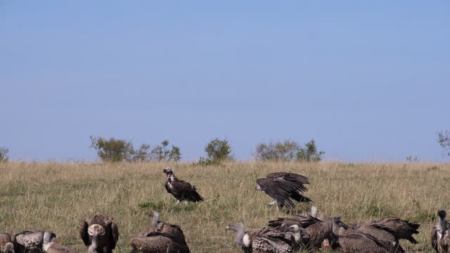 African White Backed Vulture, gyps africanus, Ruppell's Vulture, gyps rueppelli, Lappet-faced vulture or Nubian vulture, torgos tracheliotos, Group eating on Carcass, Masai Mara Park in Kenya, slow motion African White Backed Vulture, gyps africanus, Ruppell's Vulture, gyps rueppelli, Lappet-faced vulture or Nubian vulture, torgos tracheliotos, Group eating on Carcass, Masai Mara Park in Kenya, slow motion vulture stock videos & royalty-free footage