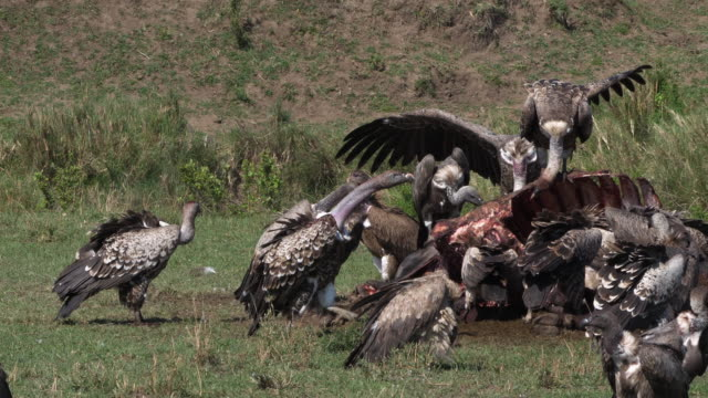 African White Backed Vulture, gyps africanus, Ruppell's Vulture, gyps rueppelli, Group eating on Carcass, Masai Mara Park in Kenya, Real Time 4K African White Backed Vulture, gyps africanus, Ruppell's Vulture, gyps rueppelli, Group eating on Carcass, Masai Mara Park in Kenya, Real Time 4K scavenging stock videos & royalty-free footage