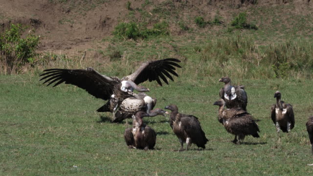 African White Backed Vulture, gyps africanus, Ruppell's Vulture, gyps rueppelli, , Group eating on Carcass, Masai Mara Park in Kenya, Real Time 4K African White Backed Vulture, gyps africanus, Ruppell's Vulture, gyps rueppelli, , Group eating on Carcass, Masai Mara Park in Kenya, Real Time 4K scavenging stock videos & royalty-free footage