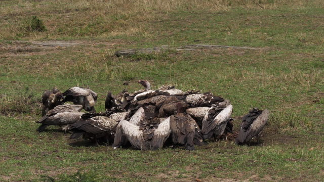 African White Backed Vulture, gyps africanus, Ruppell's Vulture, gyps rueppelli, , Group eating on Carcass, Masai Mara Park in Kenya, Slow motion African White Backed Vulture, gyps africanus, Ruppell's Vulture, gyps rueppelli, , Group eating on Carcass, Masai Mara Park in Kenya, Slow motion scavenging stock videos & royalty-free footage
