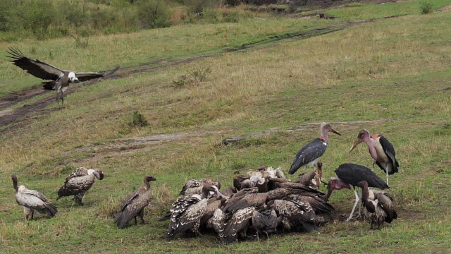 African White Backed Vulture, gyps africanus, Ruppell's Vulture, gyps rueppelli, Marabou Stork, leptoptilos crumeniferus, Group eating on Carcass, Masai Mara Park in Kenya, Slow motion African White Backed Vulture, gyps africanus, Ruppell's Vulture, gyps rueppelli, Marabou Stork, leptoptilos crumeniferus, Group eating on Carcass, Masai Mara Park in Kenya, Slow motion scavenging stock videos & royalty-free footage