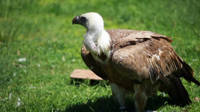 African white-backed vulture video