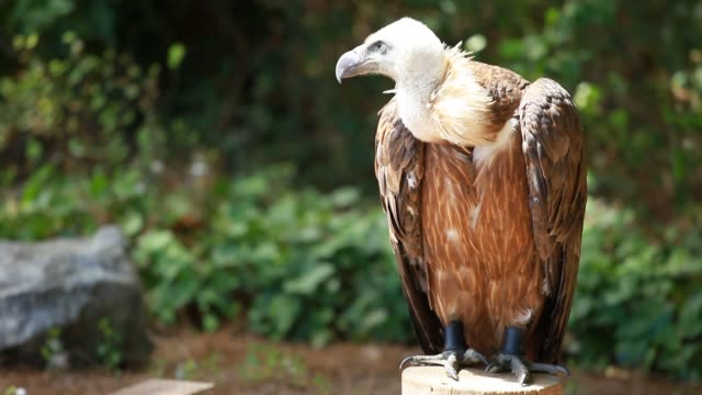 African white-backed vulture African white-backed vulture vulture stock videos & royalty-free footage