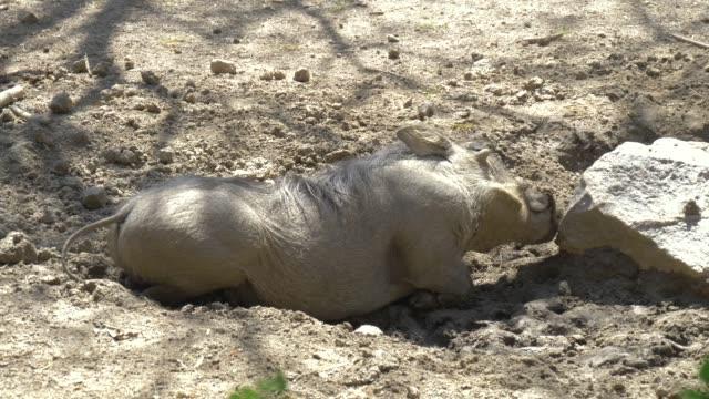 African Wild Pig - Warthog