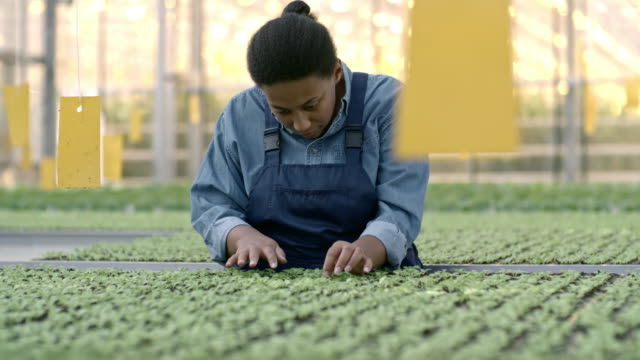 African Woman Working in Greenhouse Nursery PAN of female African worker in overalls inspecting seedlings growing in greenhouse nursery hydroponics stock videos & royalty-free footage