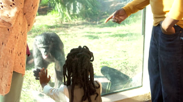 African-American family of five at the zoo, bonobos