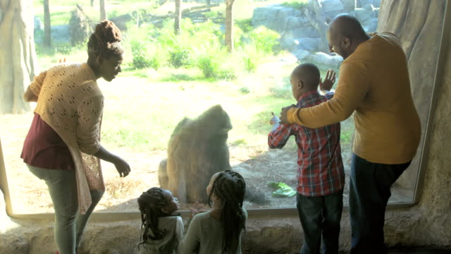 african-american family of five at the zoo, gorilla - gorilla video stock e b–roll