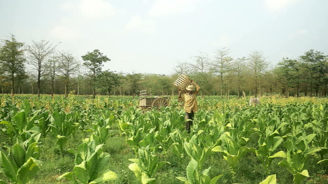After loading harvested tobacco leaves onto a wooden cart , farmer going back in the field using traditional bamboo basket to pick new tobacco leaves by hand video