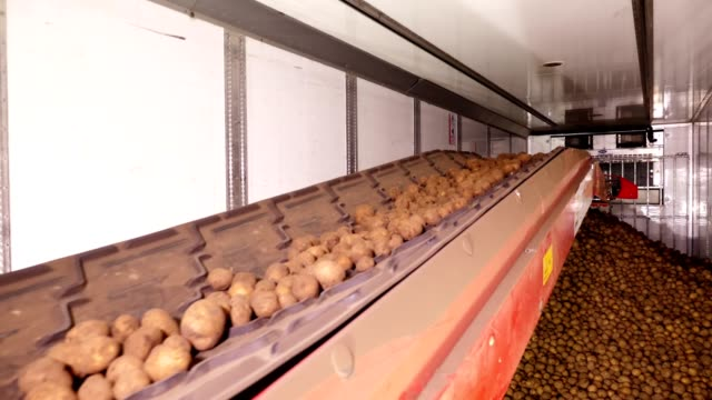 After sorting and culling at warehouse, potatoes are placed on conveyor belt, then loaded on truck for further transportation to potato processing plant . potato harvest video