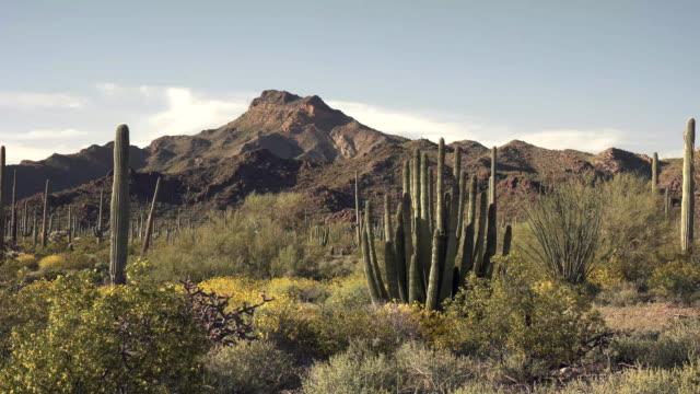 午後のショット ・ ティロットソン ピークとアリゾナ州のオルガン パイプ サボテン - オコティロサボテン点の映像素材/bロール