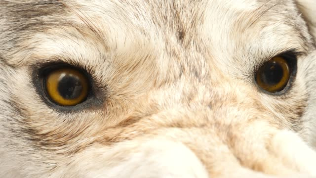Aggressive Stuffed Wolf Head with Yellow Eyes Head of aggressive stuffed wolf head with open mouth with yellow eyes outdoor stuffed stock videos & royalty-free footage
