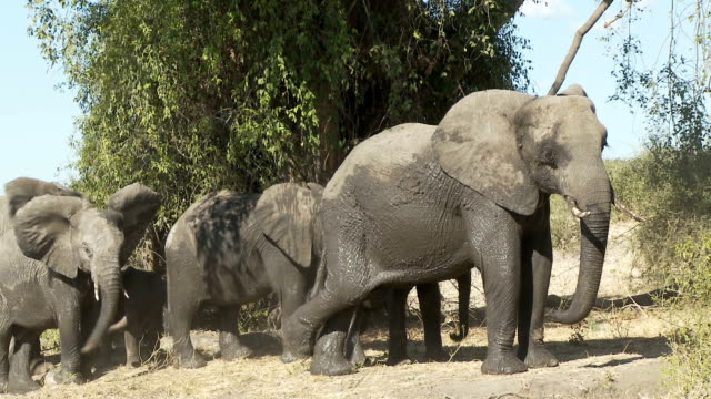 Agitated Elephants Two elephants become annoyed and give a head toss to show their superiority  botswana stock videos & royalty-free footage