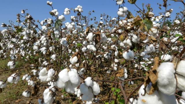 4k närbild: jordbruks bomull fält fullt av vita råbomull blomma frökapslar - cotton growing bildbanksvideor och videomaterial från bakom kulisserna