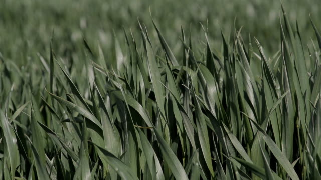 Agricultural Crops Swaying In The Wind video