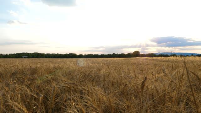 agricultural field - wheat - центральная европа стоковые видео и кадры b-roll