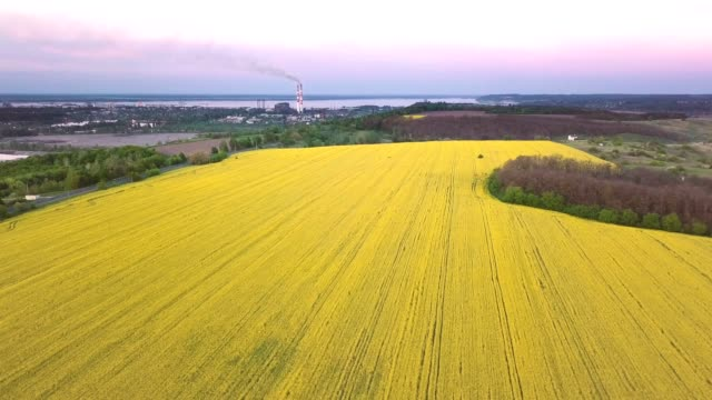 agricultural field with blooming yellow rapeseed near the industrial zone. combination of nature and industry. - canola video stock e b–roll