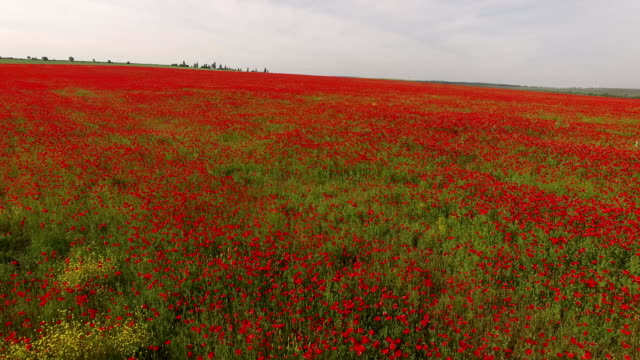 Agricultural Field With Poppy Flowers video