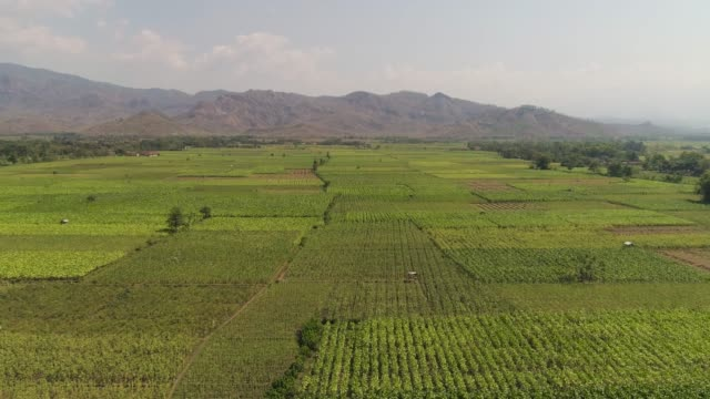 agricultural land in indonesia - nicotina video stock e b–roll