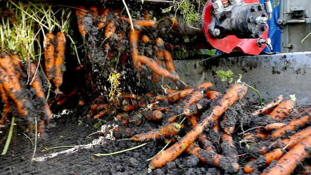 Agricultural machinery to transport raw carrots Mass production and harvest of carrot roots with modern agricultural machinery,video clip carrot stock videos & royalty-free footage
