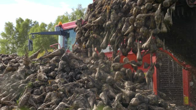 Agricultural vehicle harvesting sugar beets. Fresh sugar beets on the field farm