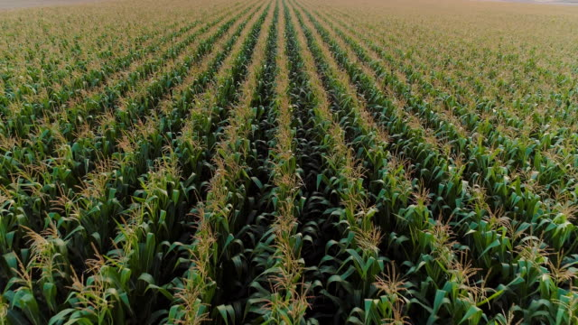 Agriculture Aerial Shot of Corn Field