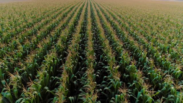 vidéos et rushes de tir aérien d'agriculture du champ de maïs - maïs culture