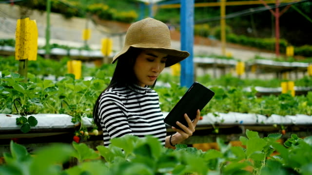 Agriculture: Asian Woman Farmer With A Digital Tablet In The Field, Smart agriculture and technology concept Mid Adult farmer working in a greenhouse hydroponics stock videos & royalty-free footage