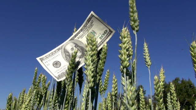 agriculture business money concept. USA usd dollar banknote on wheat ears video
