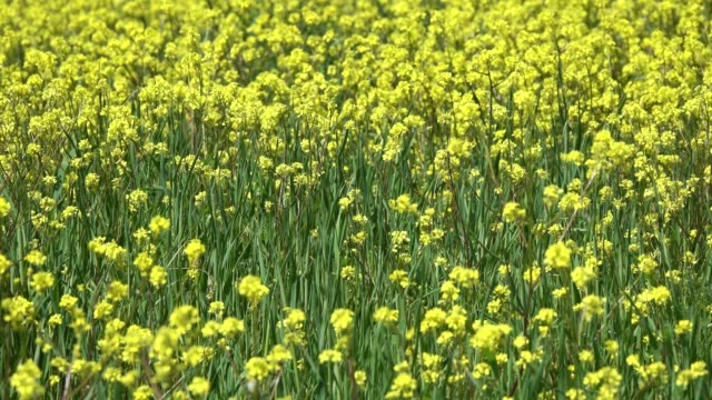 vídeos de stock e filmes b-roll de agriculture field with rapeseed yellow flowers - crucíferas
