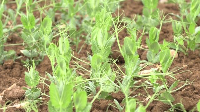 jordbruk - fältet young plants - pea sprouts bildbanksvideor och videomaterial från bakom kulisserna
