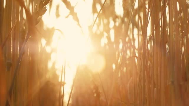 agriculture harvest sunlit stems spikelets grain - gospodarstwo ekologiczne filmów i materiałów b-roll