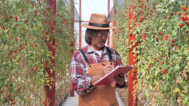 agriculture man harvesting tomatoes in greenhouse. - bio food video stock e b–roll