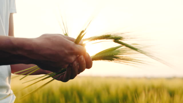 Agriculture - Man's hand touching wheat. video