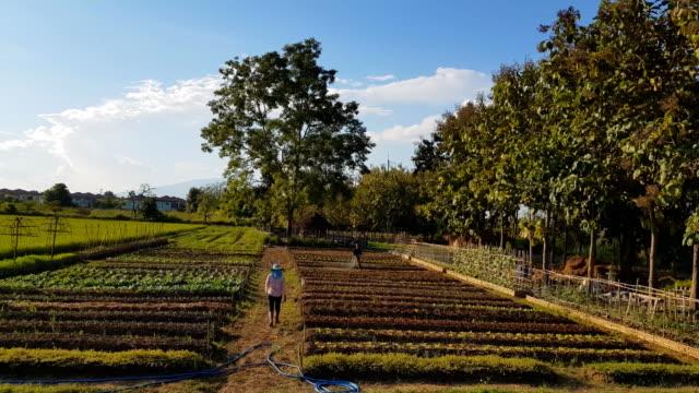 水田の若い米に触れる農業/古い手の優しく ビデオ