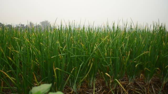 l'agricoltura biologica cipolla verde campo - alliacee video stock e b–roll