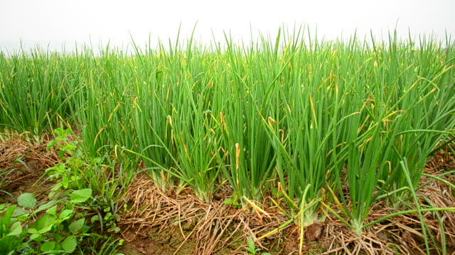 Agriculture organic green onion field  onion stock videos & royalty-free footage