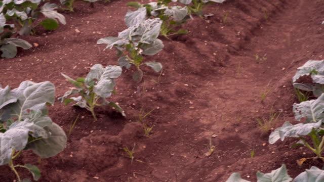 vídeos de stock e filmes b-roll de agriculture, pan of cultivated field - brócolo