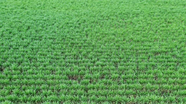 agriculture planting sugarcane plantation in southeast asian - сахарный тростник стоковые видео и кадры b-roll