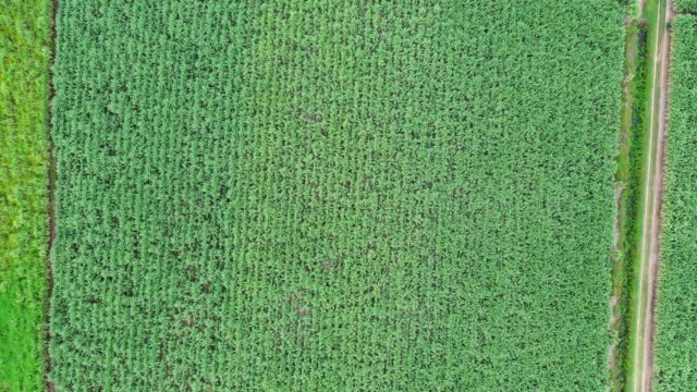 Agriculture planting sugarcane plantation in southeast asian