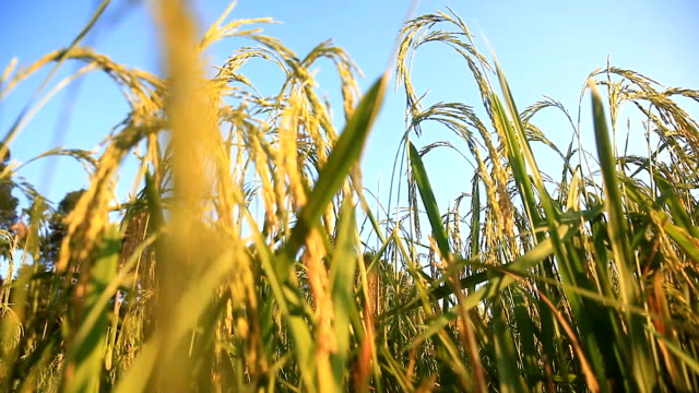 Agriculture rice field in Thailand. Food concept. - vídeo