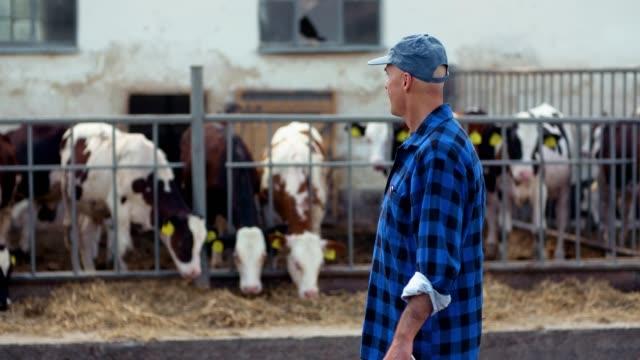 agriculture - successfull male farmer using digital tablet at stable, cows eating hay. - молочный продукт стоковые видео и кадры b-roll