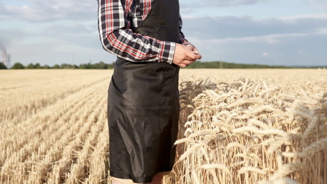 Agronomist holds ears of wheat in his hands video