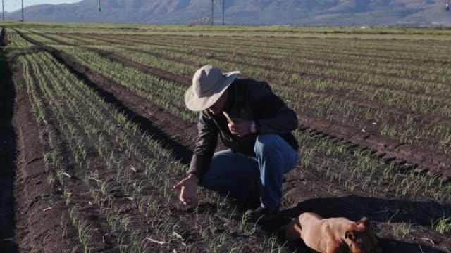 4K Agronomist/farmer inspecting field of onion plants using a smart phone video
