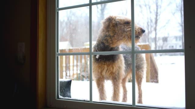 Perro Terrier Airedale quiere volver a casa desde el patio - vídeo