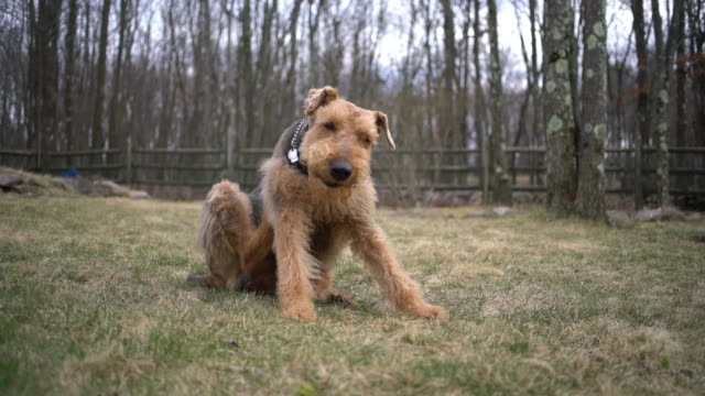Airedale terrier scratches oneself on the backyard of the country house video