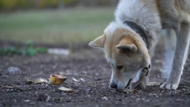 Akita Inu gnaws a bone outdoors