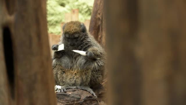 alaotran mild lemur äta på trädet - lemur bildbanksvideor och videomaterial från bakom kulisserna