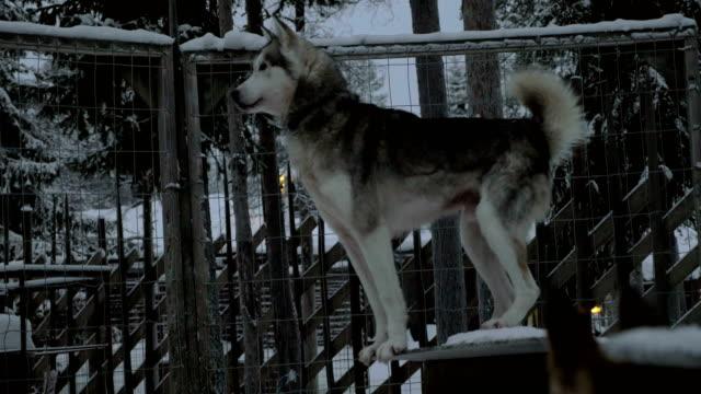 Alarmed husky dog in the cage video